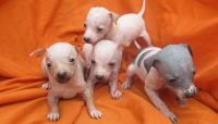 American Hairless Terrier Puppies for sale in California St, San Francisco, CA, USA. price: NA