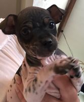 American Hairless Terrier Puppies for sale in Indianapolis, IN, USA. price: NA