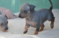 American Hairless Terrier Puppies for sale in Santa Fe, NM, USA. price: NA
