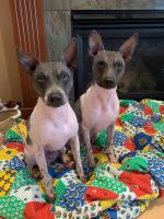 American Hairless Terrier Puppies for sale in Oakdale, CA 95361, USA. price: NA