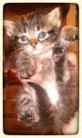American Longhair Cats for sale in South Bend, IN, USA. price: NA