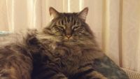 American Longhair Cats for sale in Yucca Valley, CA 92284, USA. price: NA