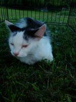 American Longhair Cats Photos