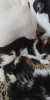 American Longhair Cats for sale in Clayton, GA 30525, USA. price: NA