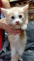 American Longhair Cats for sale in Brooklyn, NY 11206, USA. price: NA
