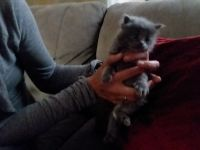 American Longhair Cats for sale in Vancouver, WA, USA. price: NA
