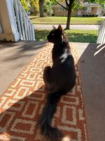 American Longhair Cats for sale in Garden City, MI 48135, USA. price: NA