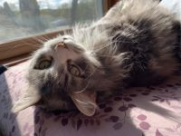 American Longhair Cats for sale in Minneapolis, MN, USA. price: NA
