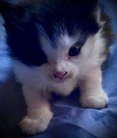 American Longhair Cats for sale in Lebanon, NJ 08833, USA. price: NA