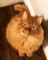 American Longhair Cats for sale in Lewisville, TX, USA. price: NA