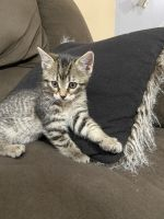 American Longhair Cats for sale in Imperial, NE 69033, USA. price: NA
