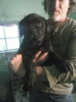 American Mastiff Puppies for sale in Joliet, IL, USA. price: NA