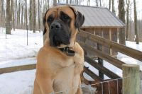 American Mastiff Puppies for sale in Sugarcreek, OH 44681, USA. price: NA