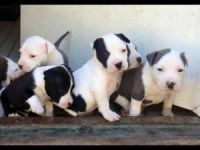 American Mastiff Puppies for sale in Jacksonville, FL, USA. price: NA