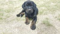 American Mastiff Puppies for sale in Aurora, CO, USA. price: NA