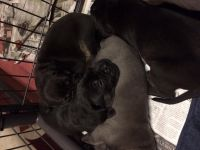 American Mastiff Puppies for sale in Corona, CA, USA. price: NA
