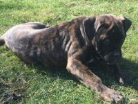 American Mastiff Puppies for sale in Irwin, PA 15642, USA. price: NA