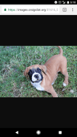 American Mastiff Puppies for sale in Phoenix, AZ 85016, USA. price: NA
