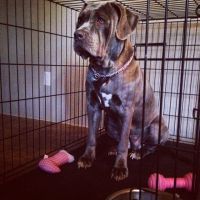 American Mastiff Puppies for sale in Jacksonville, NC, USA. price: NA