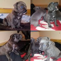 American Mastiff Puppies for sale in Bloomingdale, MI 49026, USA. price: NA