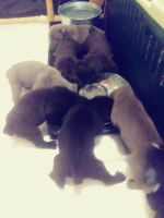 American Mastiff Puppies for sale in Cordova, TN 38016, USA. price: NA