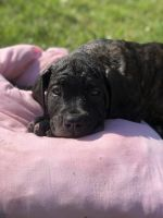American Mastiff Puppies for sale in Justice, IL, USA. price: NA