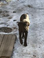 American Mastiff Puppies for sale in St Paul, MN, USA. price: NA