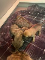 American Mastiff Puppies Photos