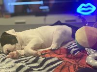 American Pit Bull Terrier Puppies for sale in Houston, TX 77082, USA. price: NA