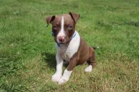 American Pit Bull Terrier Puppies for sale in Kelso, WA, USA. price: NA