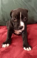 American Pit Bull Terrier Puppies for sale in Fort Lauderdale, FL, USA. price: NA