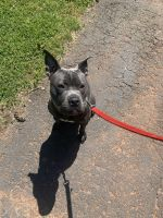 American Pit Bull Terrier Puppies for sale in Manassas, VA, USA. price: NA