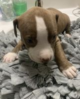 American Pit Bull Terrier Puppies for sale in Greenville, NC, USA. price: NA