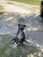 American Pit Bull Terrier Puppies for sale in Camilla, GA 31730, USA. price: NA