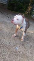 American Pit Bull Terrier Puppies for sale in 1401 Juniper St, LaGrange, GA 30240, USA. price: NA