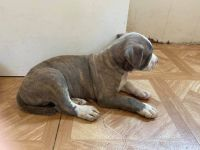 American Pit Bull Terrier Puppies for sale in Davie, FL, USA. price: NA