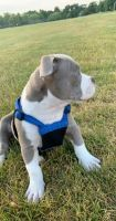 American Pit Bull Terrier Puppies for sale in Zion, IL 60099, USA. price: NA