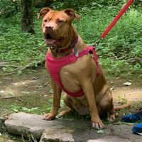 American Pit Bull Terrier Puppies for sale in Wappingers Falls, NY 12590, USA. price: NA