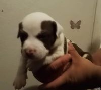 American Pit Bull Terrier Puppies for sale in Pueblo, CO, USA. price: NA
