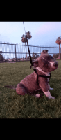 American Pit Bull Terrier Puppies for sale in Mesa, AZ 85204, USA. price: NA