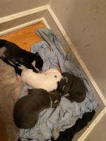 American Pit Bull Terrier Puppies for sale in Milwaukee, WI, USA. price: NA