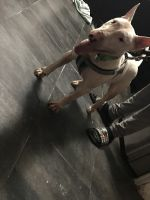 American Pit Bull Terrier Puppies for sale in Kissimmee, FL, USA. price: NA