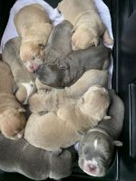 American Pit Bull Terrier Puppies for sale in Tacoma, WA, USA. price: NA