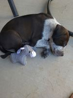 American Pit Bull Terrier Puppies for sale in Grand Junction, CO, USA. price: NA