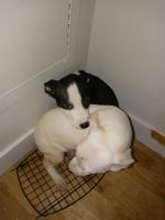 American Pit Bull Terrier Puppies for sale in Brooklyn, NY 11208, USA. price: NA