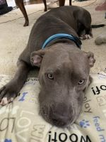 American Pit Bull Terrier Puppies for sale in Canton, GA, USA. price: NA