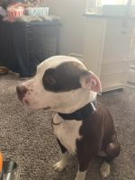 American Pit Bull Terrier Puppies for sale in 2920 E Bijou St, Colorado Springs, CO 80909, USA. price: NA