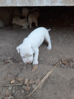 American Pit Bull Terrier Puppies for sale in Wills Point, TX 75169, USA. price: NA