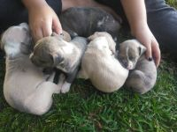 American Pit Bull Terrier Puppies for sale in Summertown, TN 38483, USA. price: NA