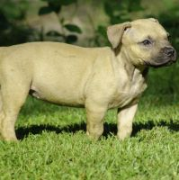 American Pit Bull Terrier Puppies for sale in Gautier, MS 39553, USA. price: NA